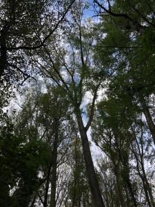 luftig lichte Baumkronen des Auwaldes