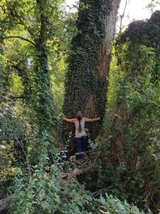 Mächtige Pappel (Populus nigra) im Auwald