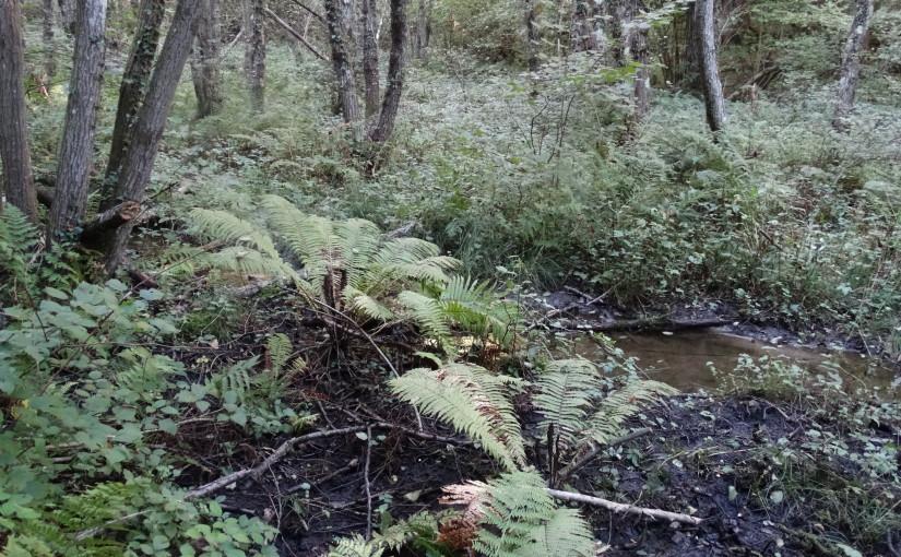 Schwarzerlenauwälder und Schwarzerlenbruchwälder