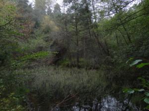 Schwarzerlenbruchwald mit einigen Föhren an einem Weiher im Vorbichl, Gemeinde Tisens