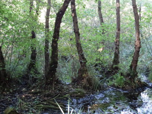 Kleiner Schwarzerlenbruchwald am Kleinen Montiggler See