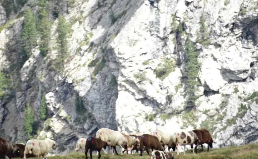 Gefährdete Schafrassen Südtirols